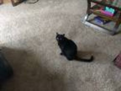 Adopt Emma a All Black Domestic Shorthair cat in Stone Mtn, GA (24789675)