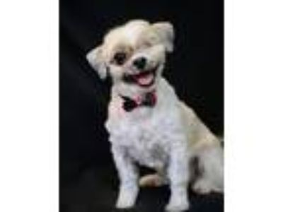 Adopt Eileen a Shih Tzu / Mixed dog in Hot Springs Village, AR (25916975)