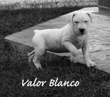 Dogo Argentino PUPPY FOR SALE ADN-87633 - Champion Dogo Argentino