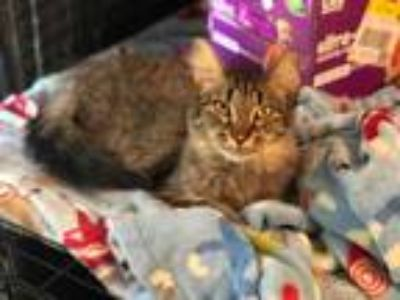 Adopt Emery a Brown Tabby Maine Coon (medium coat) cat in Indianapolis