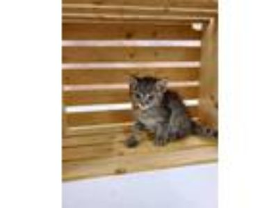 Adopt LOLLY POP a Tan or Fawn Domestic Shorthair / Domestic Shorthair / Mixed