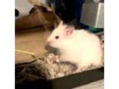 Adopt Proxima a Hamster