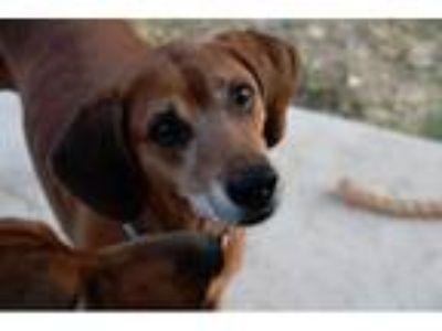 Adopt SAOIRSE-Courtesy Listing a Redbone Coonhound