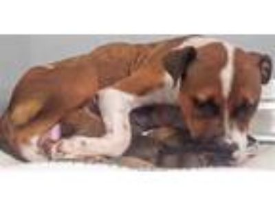 Adopt a Brown/Chocolate - with White Boxer / Mixed dog in Houston, TX (25898115)