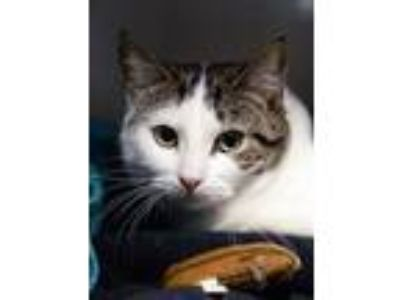 Adopt Aria-Barn CAT a Gray, Blue or Silver Tabby Domestic Shorthair (short coat)