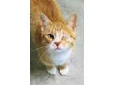 Adopt Winkin' a Orange or Red Domestic Shorthair / Domestic Shorthair / Mixed