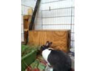 Adopt Forever in Our Care: Maka a Chocolate Dutch / Mixed (short coat) rabbit in