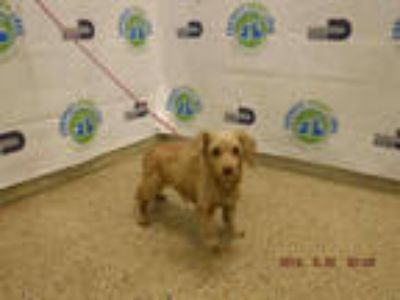 Adopt PERLA a Brown/Chocolate Poodle (Miniature) / Mixed dog in Doral