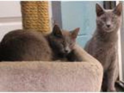 Adopt Franklin & Madison a Gray or Blue Domestic Shorthair (short coat) cat in