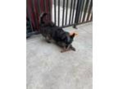Adopt Terrier COURTESY POST a Wirehaired Terrier
