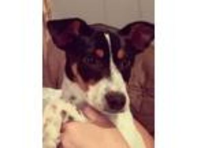 Adopt Arya a Rat Terrier, Cattle Dog
