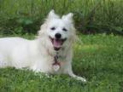 Adopt POLLY a White Spitz (Unknown Type, Medium) / Mixed dog in Franklin