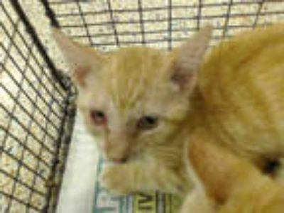 Adopt MIKE a Orange or Red Tabby Domestic Shorthair / Mixed (short coat) cat in