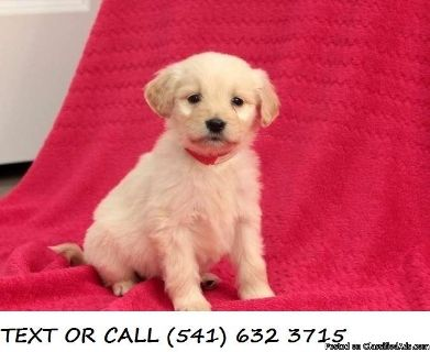 DRSXE(#!*^)Energetic Golden Retriever Puppies