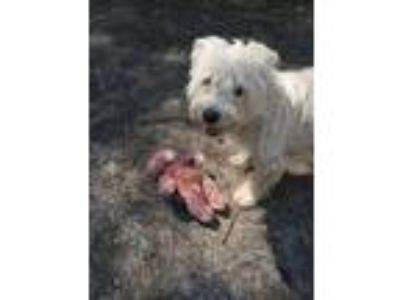 Adopt Bobby a White Wirehaired Fox Terrier / Dachshund / Mixed dog in Encino
