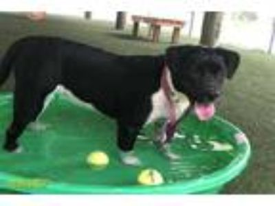 Adopt CARA a Black American Pit Bull Terrier / Mixed dog in West Palm Beach