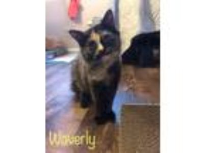 Adopt Waverly a Tortoiseshell Domestic Longhair cat in Louisville, KY (23619710)