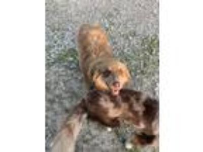 Adopt Copper a Brown/Chocolate - with White Australian Shepherd / Mixed dog in