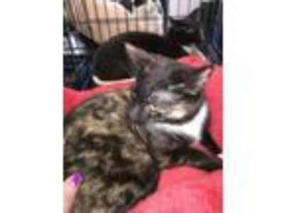 Adopt Carly a Domestic Shorthair cat in Smyrna, GA (25659507)