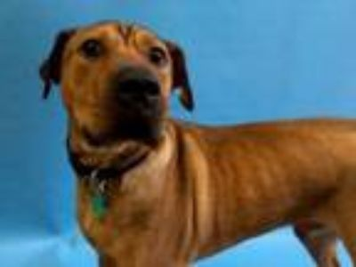 Adopt Cerberus a Boxer, Pit Bull Terrier