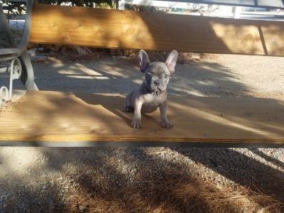 French Bulldog PUPPY FOR SALE ADN-96469 - AKC Blue French Bulldog Girl