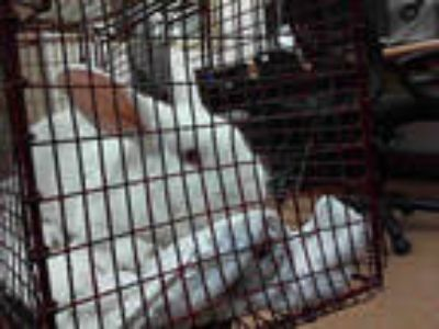 Adopt a White Other/Unknown / Mixed rabbit in Sacramento, CA (25313318)