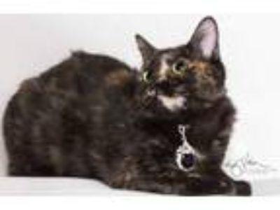 Adopt KATE a Tortoiseshell Domestic Shorthair / Mixed (short coat) cat in