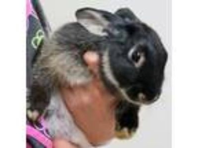 Adopt SONNY a Black American / Mixed (short coat) rabbit in Wildomar