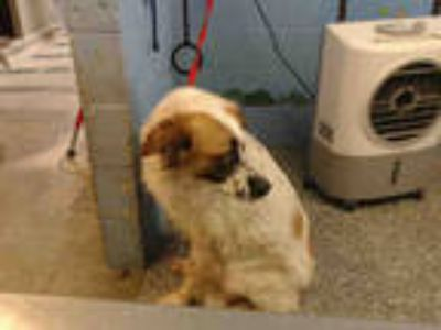 Adopt a White - with Brown or Chocolate Australian Shepherd / Mixed dog in San