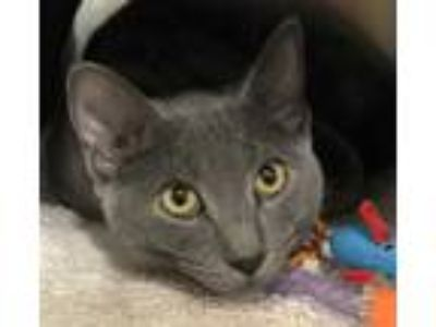 Adopt Shadow a Gray or Blue Russian Blue / Domestic Shorthair / Mixed cat in