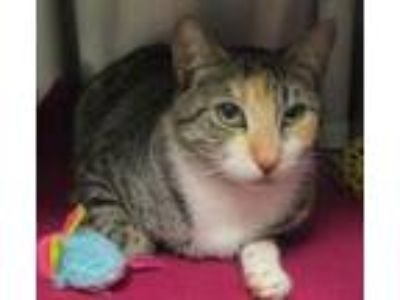 Adopt Bubbles (E Millard) a Domestic Short Hair