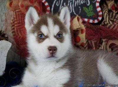 Husky pups