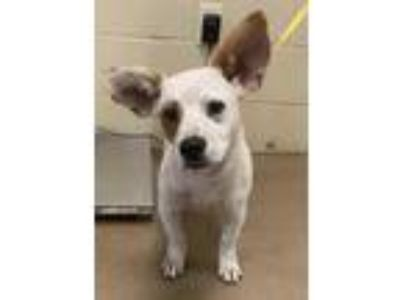 Adopt Kaden* a White Beagle / Jack Russell Terrier / Mixed dog in Anderson