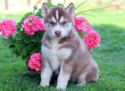 Siberian Husky PUPPY FOR SALE ADN-79252 - Siberian Husky Puppy For Sale