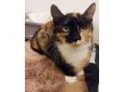 Adopt Spectacle a Calico, Domestic Short Hair