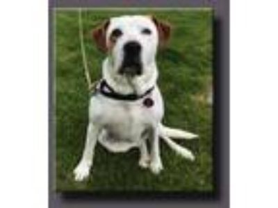 Adopt Holly *LOCAL* a Hound, Boxer