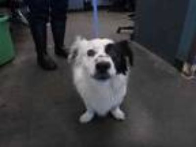 Adopt Patches a White - with Black Border Collie / Mixed dog in Encino
