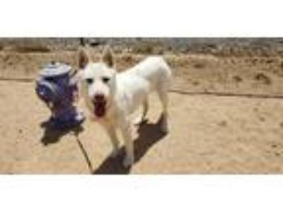 Adopt Snow a White Husky / Mixed dog in California City, CA (25226884)