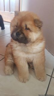 Chow CHow Puppies available for clean homes