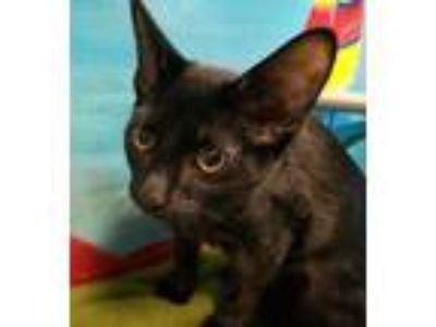 Adopt Lane a All Black Domestic Shorthair / Domestic Shorthair / Mixed cat in