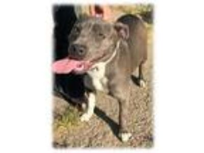 Adopt Dolly a American Staffordshire Terrier, Pit Bull Terrier