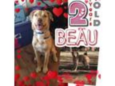 Adopt Beau a Golden Retriever