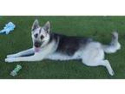 Adopt Carmelo a Gray/Blue/Silver/Salt & Pepper Husky / German Shepherd Dog /