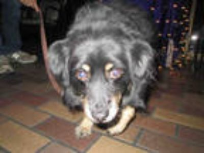 Adopt a Black - with Tan, Yellow or Fawn Pomeranian / Dachshund / Mixed dog in