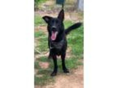 Adopt Felix a Black German Shepherd Dog / Mixed dog in Pickens, SC (25835232)