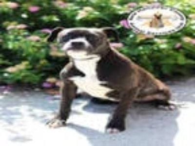 Adopt MELLY a Black - with White Boxer / Beagle / Mixed dog in Wilmington
