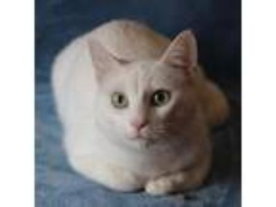 Adopt Yeti a Domestic Shorthair cat in Helotes, TX (24555935)