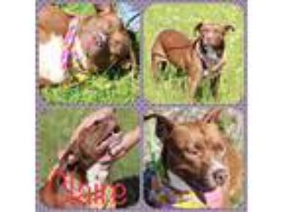 Adopt Clarie a Brown/Chocolate - with White Pit Bull Terrier / Mixed dog in East