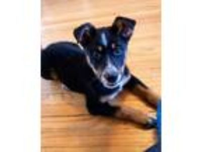 Adopt Pippa(PENDING) a Cattle Dog, Border Collie