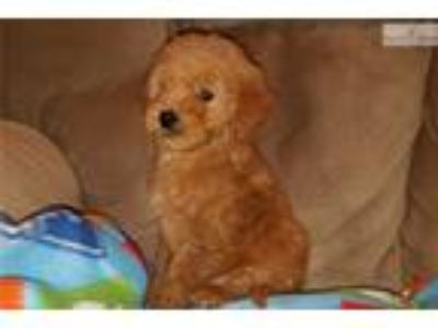 Anna- Gorgeous Goldendoodle Puppy